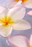 De bloemen van Frangipane Royalty-vrije Stock Foto's
