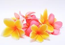 De bloemen van Frangipani Stock Afbeeldingen