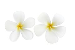 De bloemen van Frangipani Stock Fotografie