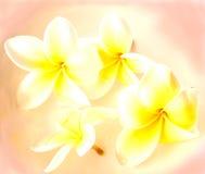 De bloemen van Frangipani Stock Foto's