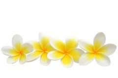 De bloemen van Frangipani Stock Foto