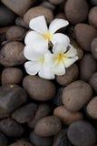 De bloemen van Frangipani op kiezelsteen Stock Foto's