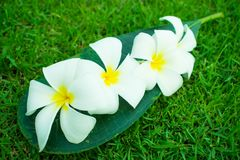 De bloemen van Frangipanni Stock Foto