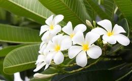 De bloemen van Frangipanni stock foto's