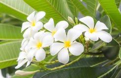 De bloemen van Frangipanni stock afbeeldingen