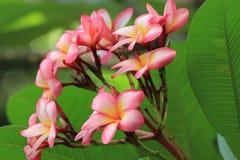 De bloemen van Frangipanni Royalty-vrije Stock Afbeelding