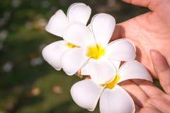 De bloemen van Frangipanni Stock Afbeelding