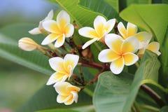 De bloemen van Frangipanni Royalty-vrije Stock Foto