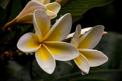 De bloemen van Frangipanni Royalty-vrije Stock Afbeeldingen