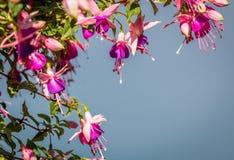 De bloemen van Fuchia Royalty-vrije Stock Afbeelding