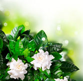 De Bloemen van gardenia. Jasmijn Royalty-vrije Stock Afbeeldingen