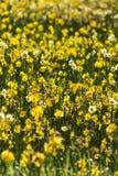 De bloemen van de gebiedsgele narcis Royalty-vrije Stock Fotografie