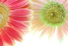 De Bloemen van Gerber royalty-vrije stock foto