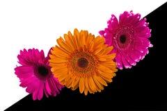 De Bloemen van Gerbera Stock Foto's