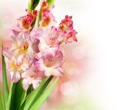 De Bloemen van gladiolen Stock Foto