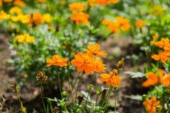 De bloemen van de goudsbloem Royalty-vrije Stock Afbeeldingen