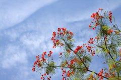 De bloemen van Gulmohar op mooie duidelijke hemel Stock Foto