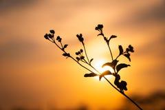 De bloemen van het Ageratum conyzoides onkruid sluiten omhoog op de zomerzonsondergang met exemplaarruimte royalty-vrije stock afbeeldingen