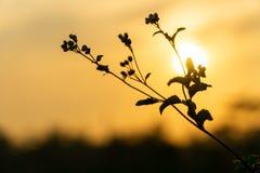 De bloemen van het Ageratum conyzoides onkruid sluiten omhoog op de zomerzonsondergang met exemplaarruimte royalty-vrije stock fotografie