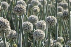 De bloemen van het Allium van de ui Stock Afbeeldingen