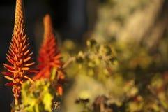 De bloemen van het aloë Stock Afbeelding