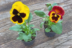 De bloemen van het altvioolviooltje stock fotografie