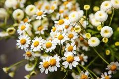 De bloemen van het bloesemmadeliefje Stock Foto's