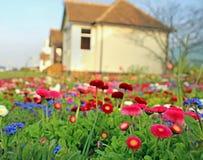 De bloemen van het de lentemadeliefje royalty-vrije stock afbeelding