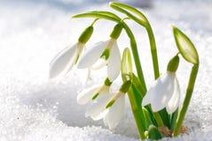 De bloemen van het de lentesneeuwklokje Stock Afbeelding