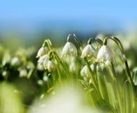 De bloemen van het de lentesneeuwklokje Royalty-vrije Stock Foto