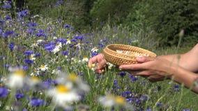 De bloemen van het de oogstmadeliefje van kruidkundigehanden tussen korenbloem op de zomergebied 4K stock video