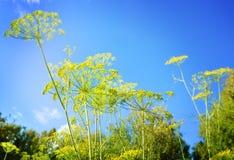 De Bloemen van het dilleonkruid tegen een blauwe hemel met gezwollen witte wolken worden geplaatst die Royalty-vrije Stock Foto's