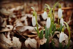 De Bloemen van het Galanthussneeuwklokje royalty-vrije stock afbeeldingen