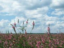 De bloemen van het gebied Royalty-vrije Stock Afbeeldingen