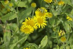 De bloemen van het Gerberamadeliefje Stock Fotografie