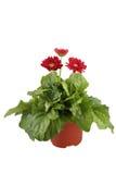 De bloemen van het Gerberamadeliefje op witte achtergrond Stock Fotografie