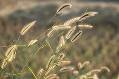 De bloemen van het gras Stock Afbeeldingen