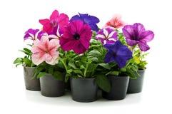 De bloemen van het huis Stock Afbeelding