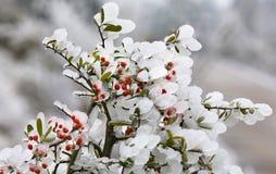 De bloemen van het ijs & fruit Pyracantha (2) Stock Foto