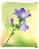 De bloemen van het klokje Stock Foto