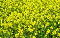 De bloemen van het koolzaad. Stock Fotografie