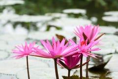 De Bloemen van het Lillywater bij Suoi-Yenchua Huong Royalty-vrije Stock Fotografie