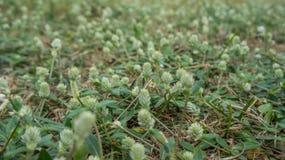 de bloemen van het madeliefjegras royalty-vrije stock foto