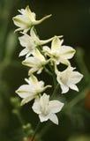 De bloemen van het ridderspoor Royalty-vrije Stock Afbeeldingen