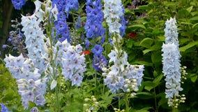 De bloemen van het ridderspoor stock video