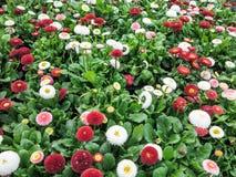 Kleurrijke madeliefjebloemen Stock Fotografie