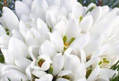 De bloemen van het sneeuwklokje stock afbeelding