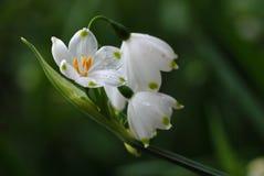 De bloemen van het sneeuwklokje Stock Foto