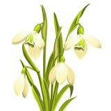 De Bloemen van het sneeuwklokje Stock Foto's