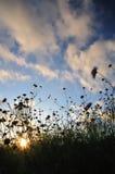 De bloemen van het speldenkussen en het plaatsen zon Stock Fotografie